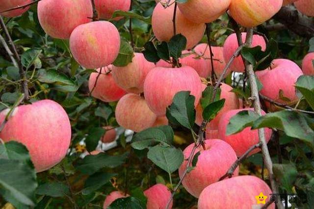 苹果是酸性还是碱性经常吃有哪些好处